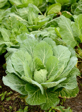 organic collard greens growing in nature  photo