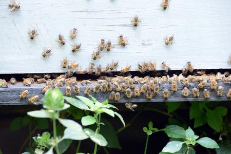 swarm of bees making honey  Stock Photo