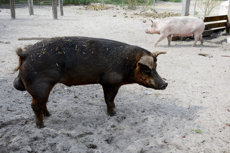 male pig: male and female pigs on a farm in pig pen