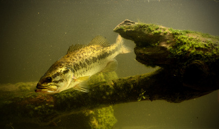 big game fishing: largemouth bass fish underwater in lake with algae Stock Photo