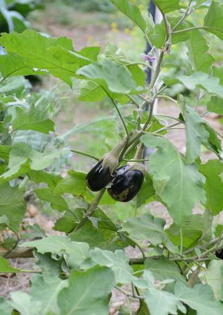 organic eggplant growing in garden photo