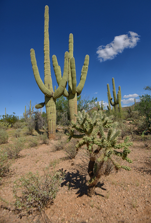 tuscon: southwest landscape in arizona with different cacti varieties