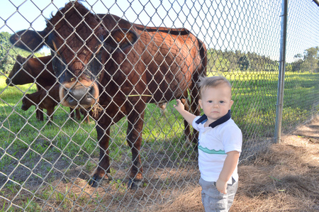 11 year old: Baby with cow at a farm leaning on a fence Stock Photo