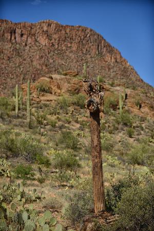saguaro cactus: dead saguaro cactus in desert
