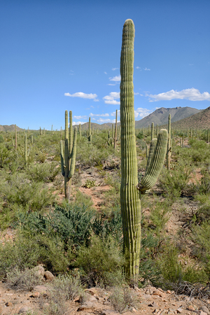 plantas del desierto: landscape of saguaro cacti and other desert plants