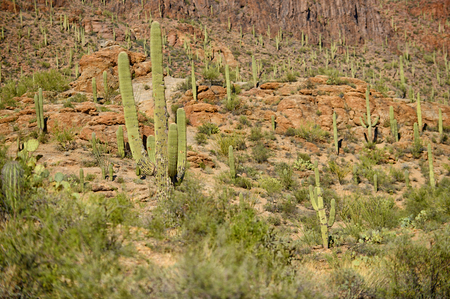 tuscon: saguaro cacti on the side of a mountain in the american southwest