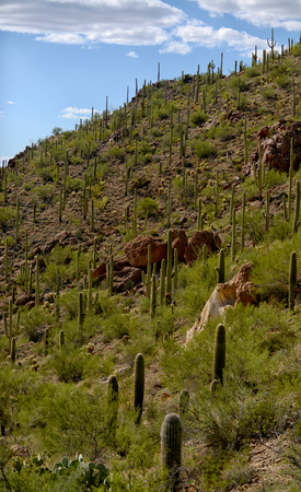 tuscon: saguaro cacti growing on the side of a southwest mountain