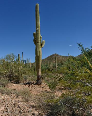 tuscon: saguaro desert cactus in arizona landscape