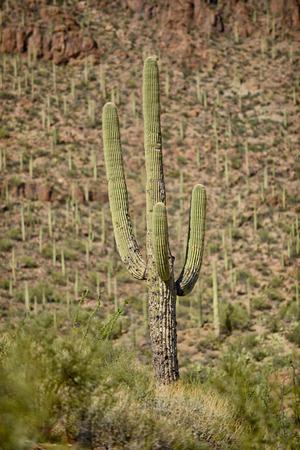 western united states: saguaro cactus growing in the western united states