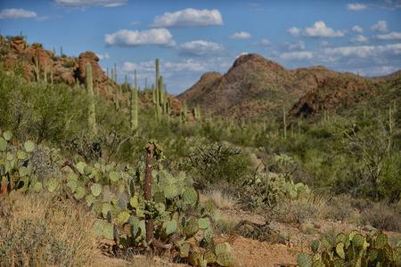 tuscon: prickly pear and saguaro cacti growing in arizona