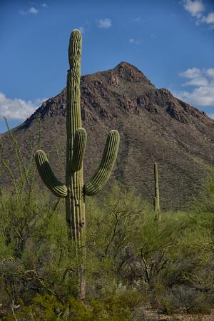 cactus: saguaro cactus against beautiful blue sky in southwest
