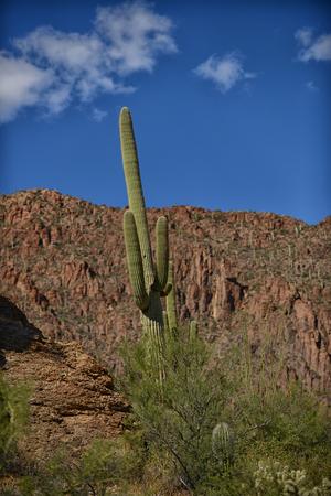tuscon: saguaro cactus in arizona with a blue sky Stock Photo
