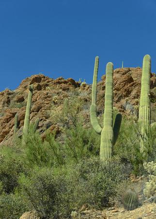 tuscon: cactus in arizona during the daytime Stock Photo