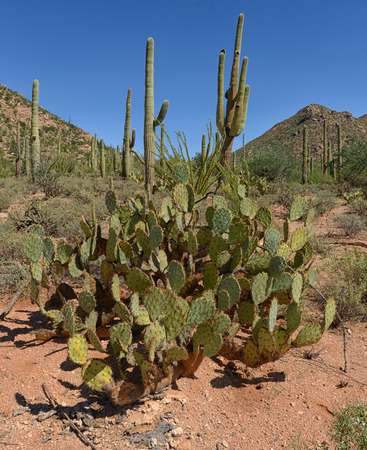 prickly pear cactus and desert mountain landscape