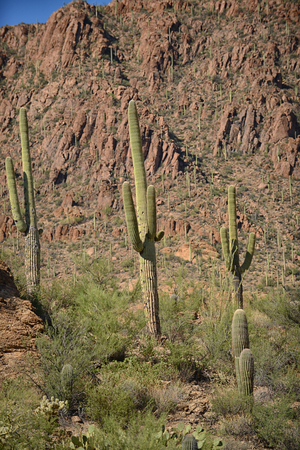 tuscon: mountain and cactus in nature in the american west