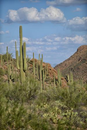 tuscon: saguaros growing in arizona near tucson Stock Photo