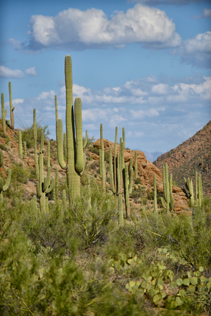prickly pear: saguaro and prickly pear cacti on southwestern landscape