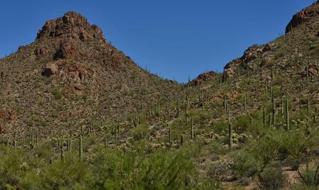 tuscon: saguaro cacti on a desert landscape in arizona Stock Photo