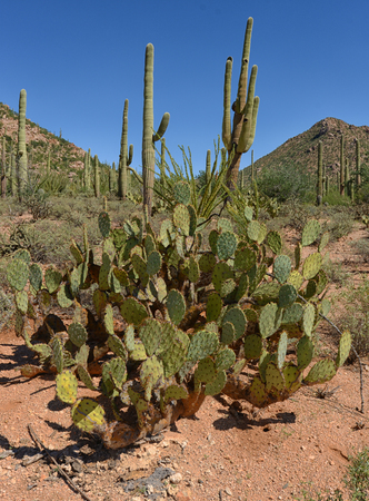 tuscon: prickly pear and saguaro cacti in an american southwestern landscape