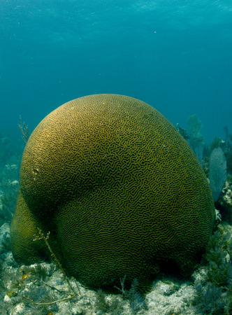 brain coral: Image of brain coral underwater in the ocean Stock Photo