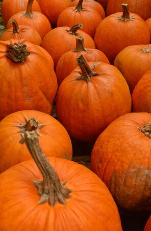 the patch: pumpkin patch in the autumn before halloween