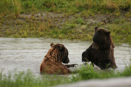 tussle: ALASKA BROWN BEAR TUSSLE