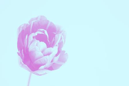 Tulip in trendy duoyones colors.