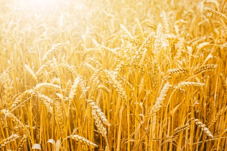 Wheat field. Beautiful rural scenery and sunset landscape. Harvest concept