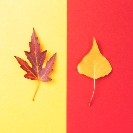 Maple and poplar leaves on yellow and red background. Minimal style, fall concept.