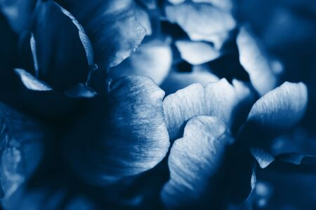 Closeup view of peony flower toned in blue color.