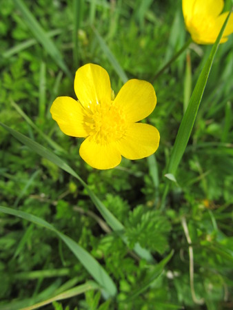 buttercup: Buttercup I Stock Photo