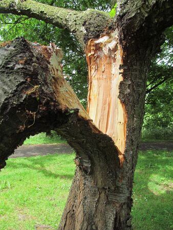 diseased: Broken Tree Stock Photo