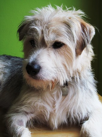 pip: Pip the Crossbreed dog