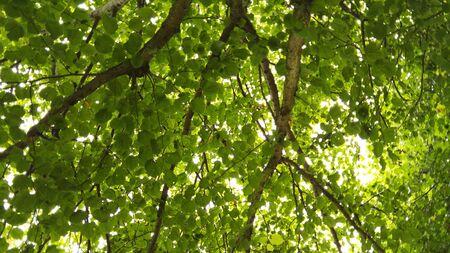 tree canopy: Tree Canopy