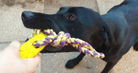 labrador teeth: Black Labrador dog playing