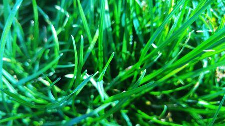 lush: Lush green grass