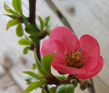 membrillo: Cerca de la flor del membrillo