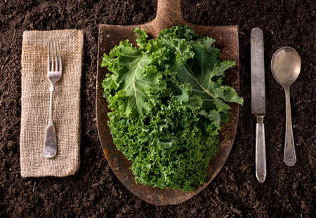 farm background: Kale organic farm to table healthy eating concept on soil background.