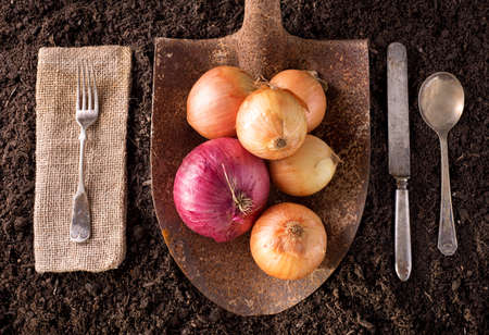 red soil: Onions organic farm to table healthy eating concept on soil background. Stock Photo