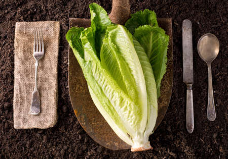 romaine: Romaine Lettuce organic farm to table healthy eating concept on soil background.