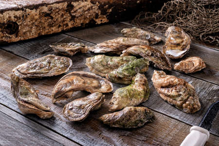 Freshly harvested oysters on a commercial wharf.