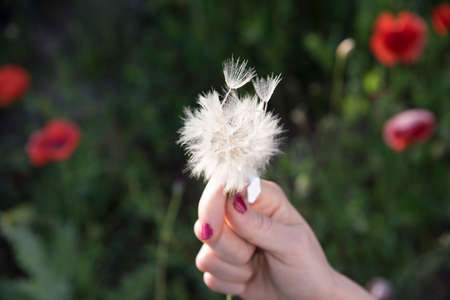 hand with a white dandelion flower with fluff and flying seeds. Macro photo