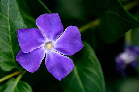 Green plant and purple vinca flower. Precious and resistant evergreen shrub.