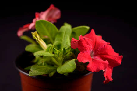 Flowerpot with a garnet blooming petunias plant on black background