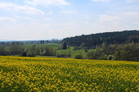 Field of Brassica napus with forest and sky. Czech landscape