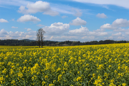 Field of Brassica napus with tree and sky. Czech landscape