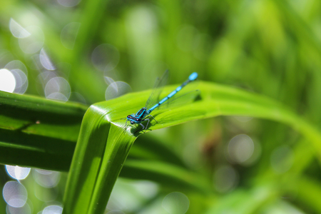 Blue Coenagrion scitulum on edge of grass leave, front view