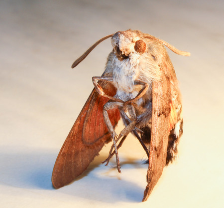 Moth from front on white background, close up photo