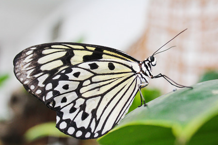 Big white butterfly standing on green leaf