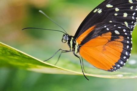 Big orange butterfly on leaf, danaus chrysippus
